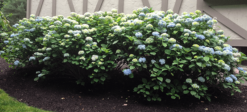 hydrangea after deer control