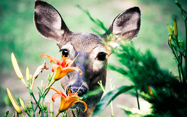 summer flowers deer